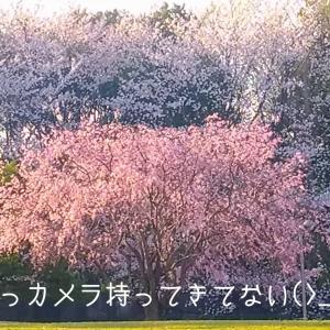 ☆スマホで撮影しただけなのに☆【桜編】