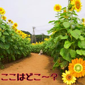 ☆特別な夏に見たひまわり☆
