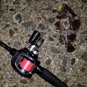 久々夜釣りではじめてのシマゾイ!からの寝坊フクラギ~~