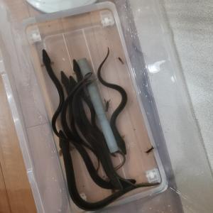 うなぎ ウナギ 鰻