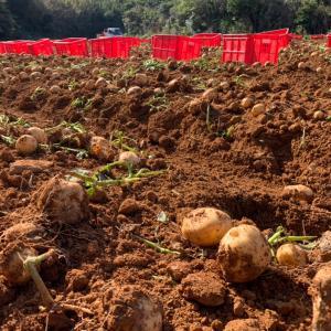 【沖永良部島】じゃが芋品種はニシユタカ怒涛の芋拾いの毎日