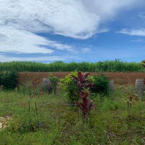 【沖永良部島】この島での農業生活、やり切りました!