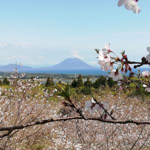 瀬戸桜公園(枕崎市)