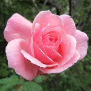 バラと収穫の秋、そしてノラが鳴いた