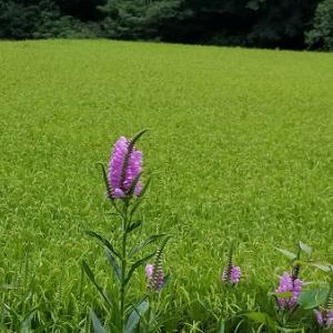 ハナトラノオが咲いたらコシヒカリが熟れます