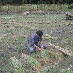 お茶飲みを楽しむために稲刈りをする。農業青年の動画あり。