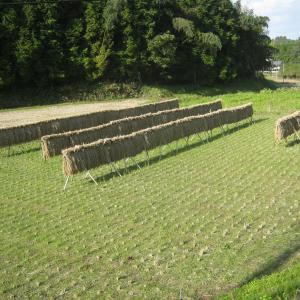 強風で稲が乾く。明日予定通り脱穀。