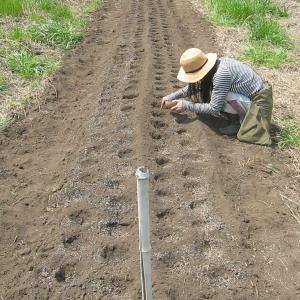 初めてニンジンの種を蒔く人(やらせ画像あり)