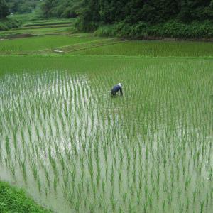 田の草取りが稲刈りより楽しいわけ。