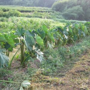 台風10号が通り過ぎました。里芋畑の様子。