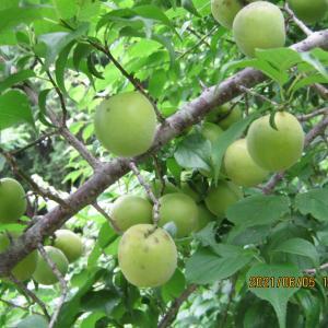 梅干し用の梅、販売いたします。