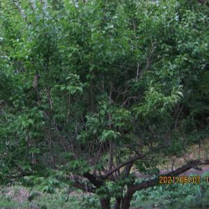 梅の枝で怪我をして、祖父を想う。