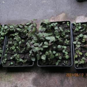 香り裏紫蘇の苗をたくさん作っています。