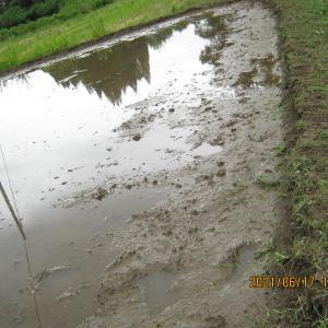 鍬をピカピカに磨くのも無農薬の米作りには必要な技です。