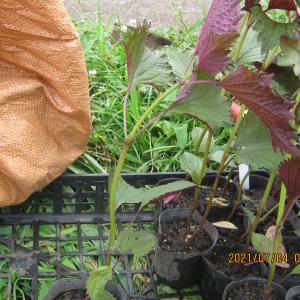 ホーリーバジルと紫蘇を定植する。