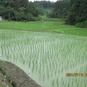 除草剤を使わない米作り。