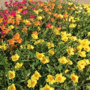 はりまラボのお花たち