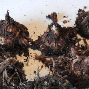 テンナンショウ属とユリ属の植替え