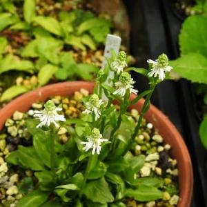 甑島極姫シライトソウの花