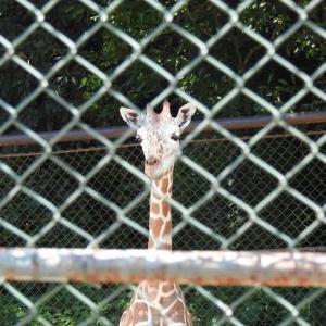 福岡市動物園にアミメキリンを見に行きました