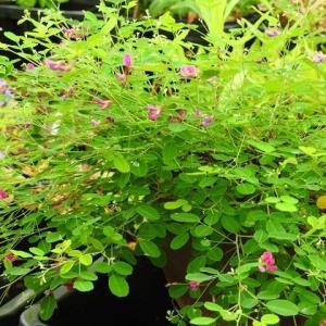屋久島萩の花