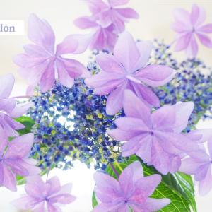 お花のあるレッスン風景・生徒さまからの心遣い・華やかなあじさい『ダンスパーティー』