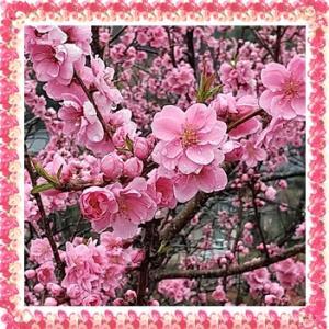 桃の花(秩父)