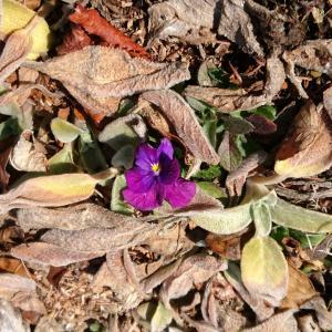 【軽井沢便り】今日の軽井沢はぽかぽか!ガーデンではチューリップの芽が出てきました。