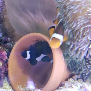 親と稚魚と卵w