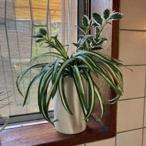 【ダイソー】オリヅルランブッシュ&10数年前の花瓶で清涼感演出!