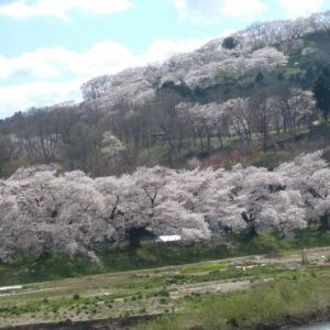 実家が一目千本桜と船岡城址公園の川向いなのです。