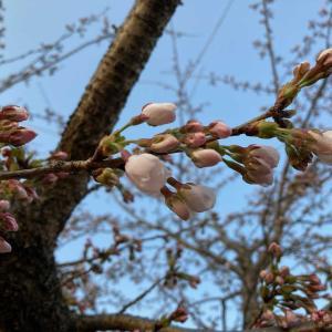 宮城県川崎町の工房の桜ソメイヨシノが開花です。山の桜はほぼ満開。