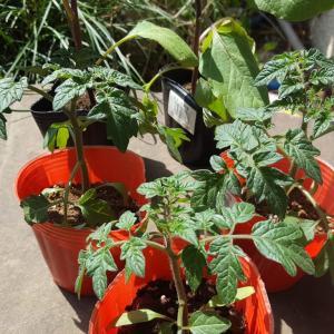 庭でナスとトマトを育てます