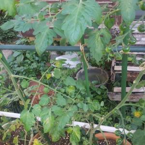 庭の夏野菜 初収穫
