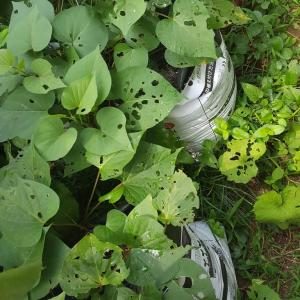 庭の夏野菜 ⑨サツマイモ空中栽培②