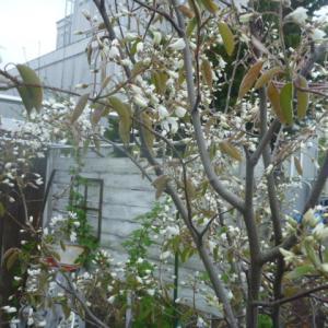 桜が散って田んぼに水