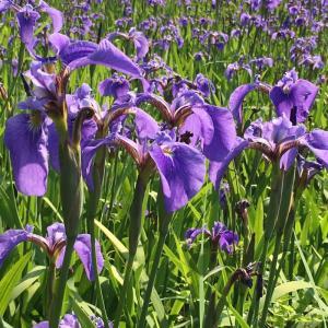 優雅な紫色の花:ナスヒオウギアヤメが見ごろです!!