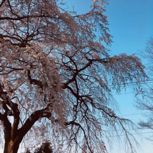 だっぱら(黒田原)のしだれ桜 咲き始める
