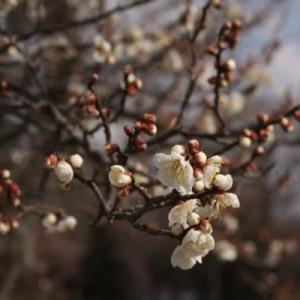 梅 三分咲き、スイセン咲き始める