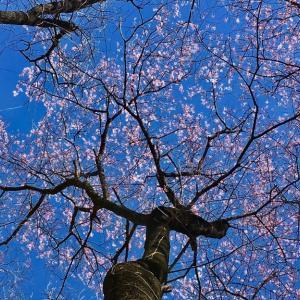 一番咲のヤマザクラ、満開