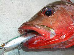 マングローブジャック(ゴマフエダイ・カースビー)をルアーで釣る