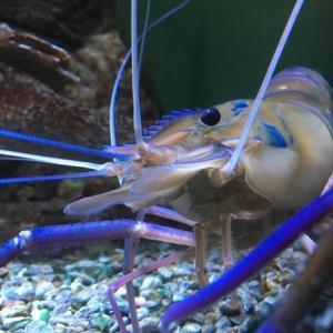 ケアンズ水族館のおすすめ淡水魚はサラトガ・バラマンディ・ノコギリザメ