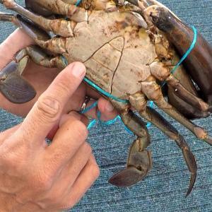 Mud Crab(マッドクラブ)のお持ち帰りサイズと数のルール