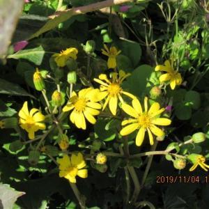 ツワブキの花満開・・・・・
