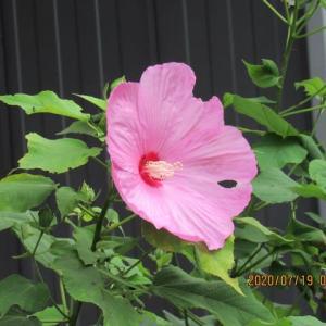 家のアメリカ芙蓉が咲いた~~~(^^♪ コオロギが出た~~~(^^♪ 7日ぶりの碧空~~~(^^♪