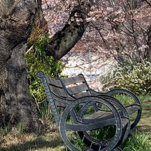 薄川堤防道路の桜