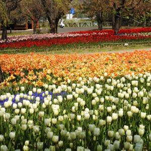 チューリップが満開な公園