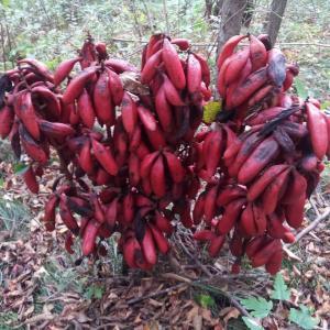 秋の里山で見かける赤い実(ツチアケビ)