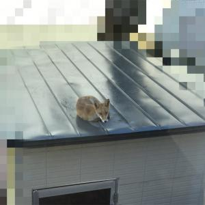物置の屋根の上にキタキツネが〜!?