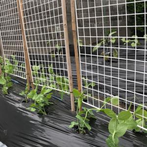 [2021家庭菜園]絹さやに豆棚をつけました